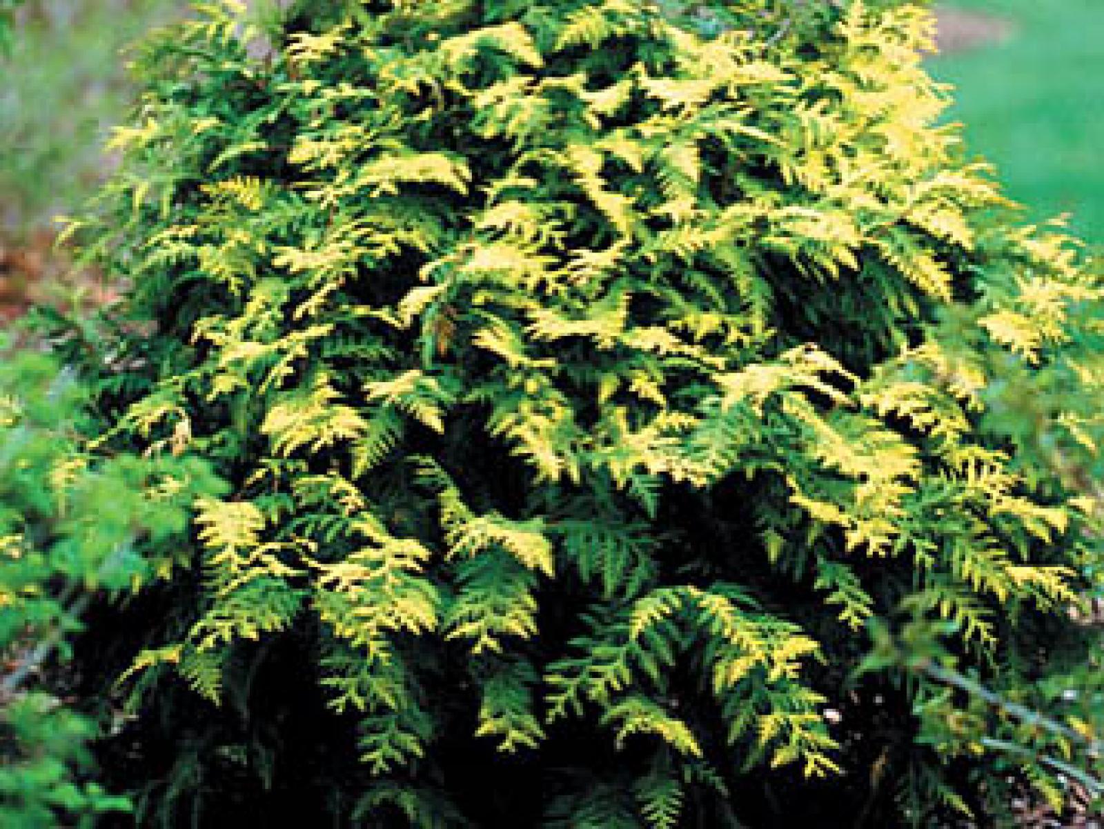 'Thuja' family of evergreens