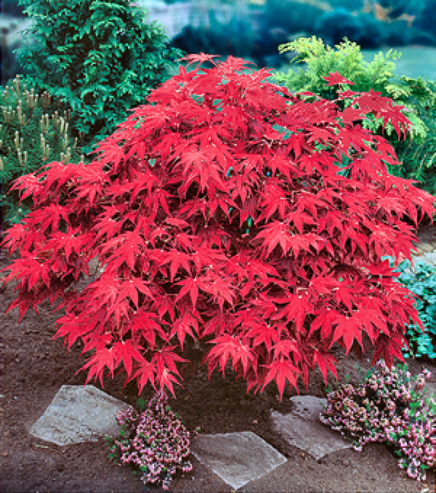 5.5-Gallon Dwarf Red Japanese Maple Feature Tree in Pot ... |Japanese Maple Red Beetle