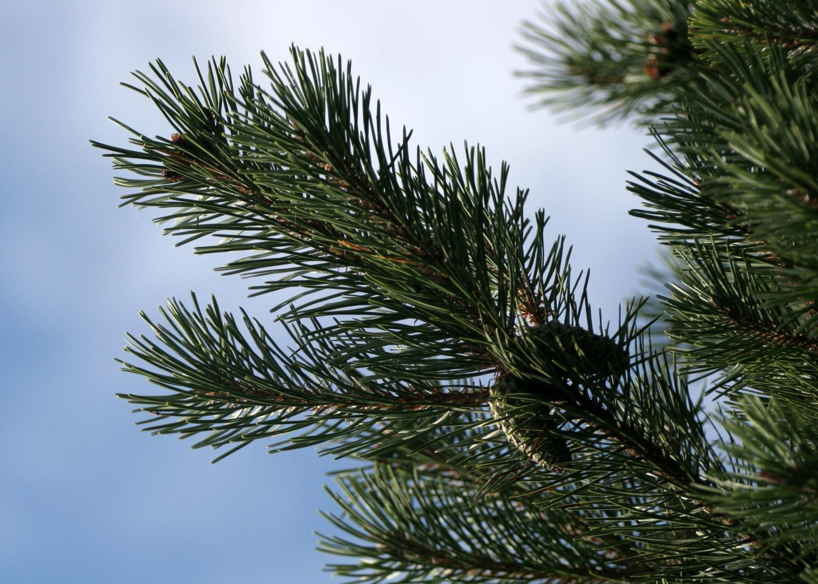 Selecting the Right Tree for the Holidays