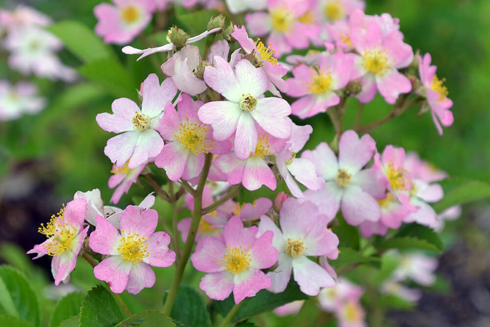 'Look-a-Like Phloxy Baby' is an attractive landscape shrub rose in this year's trial.