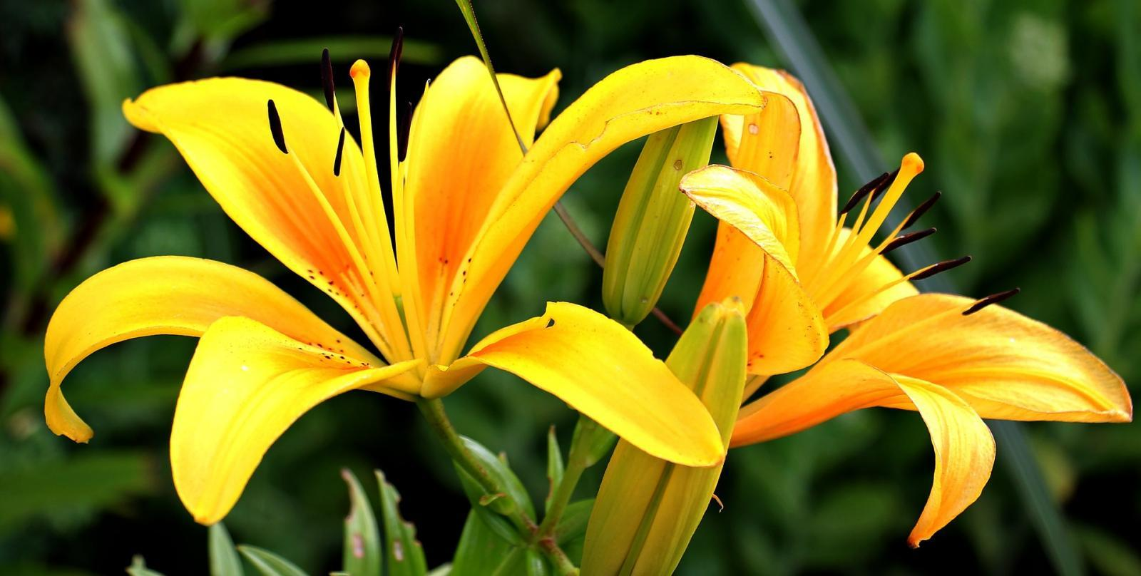 Lily madness… indoors and out in the garden!