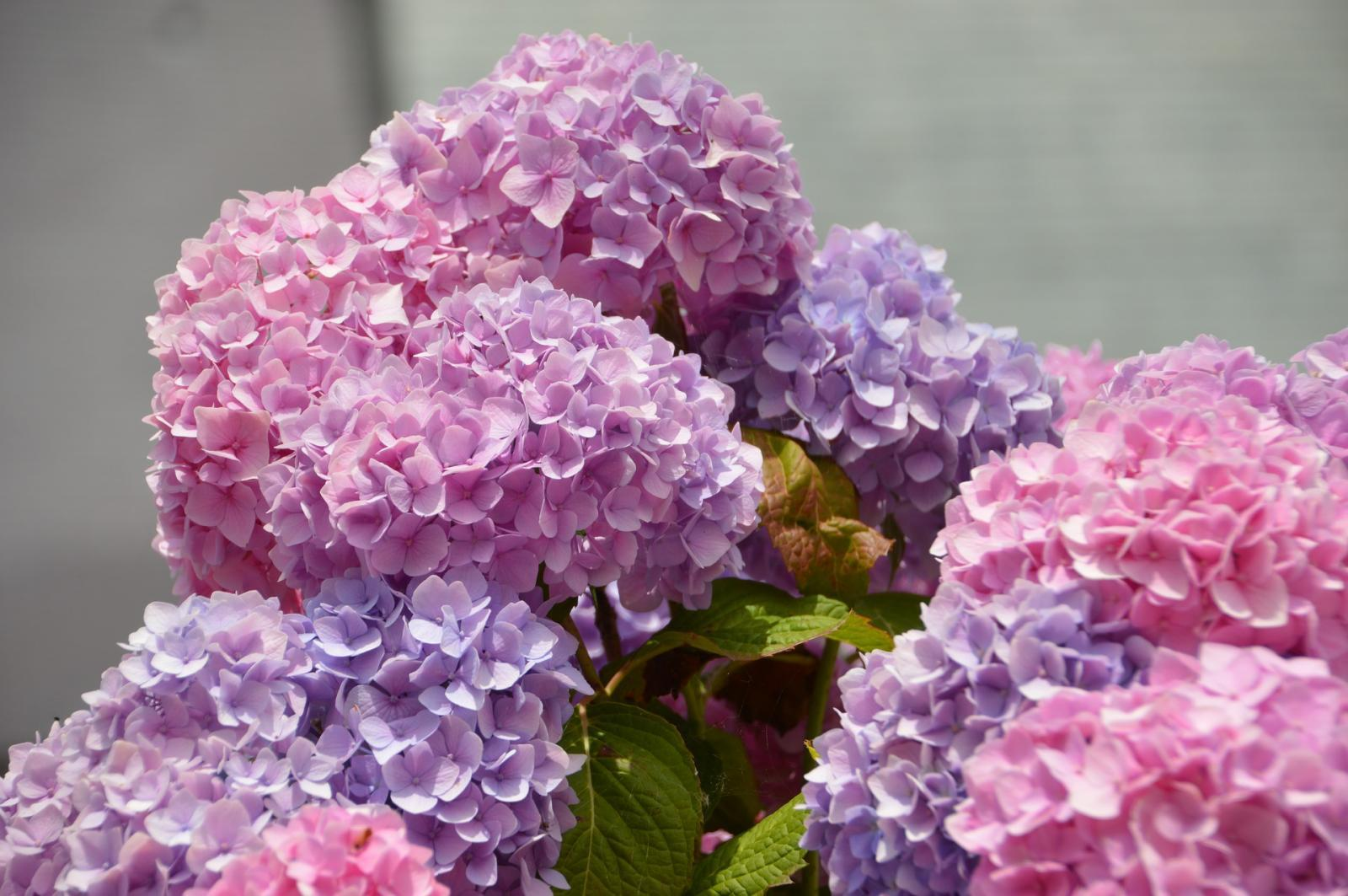 Hydrangea Magic: Changing Colours