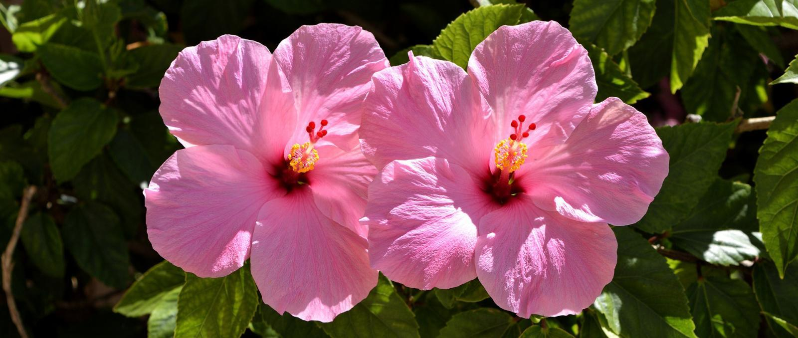 Hibiscus come in many shapes and sizes…