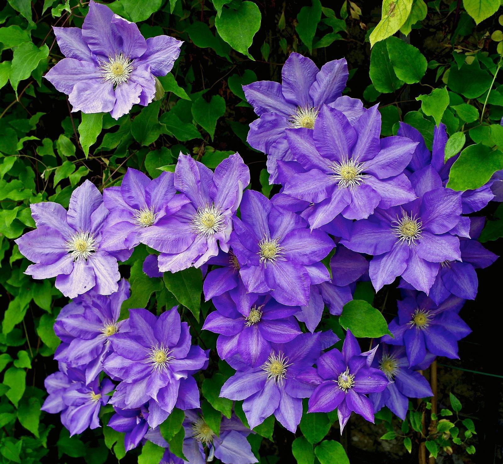 clematis, flower, garden