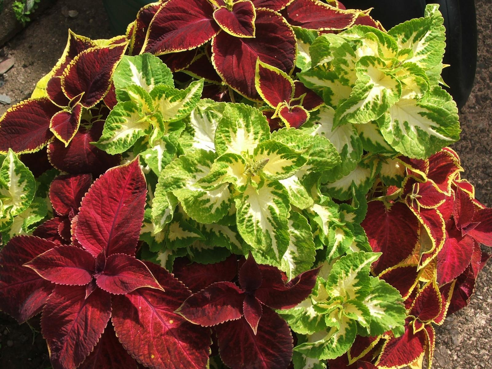 coleus, fall tropical