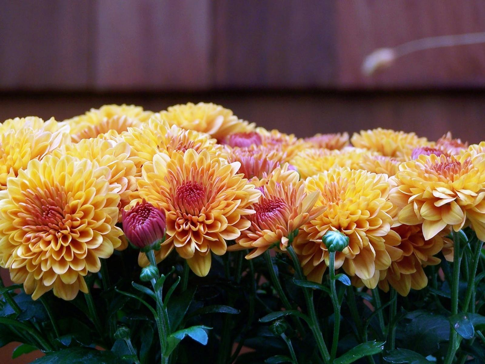 Hardy Mums & other autumn garden oddities