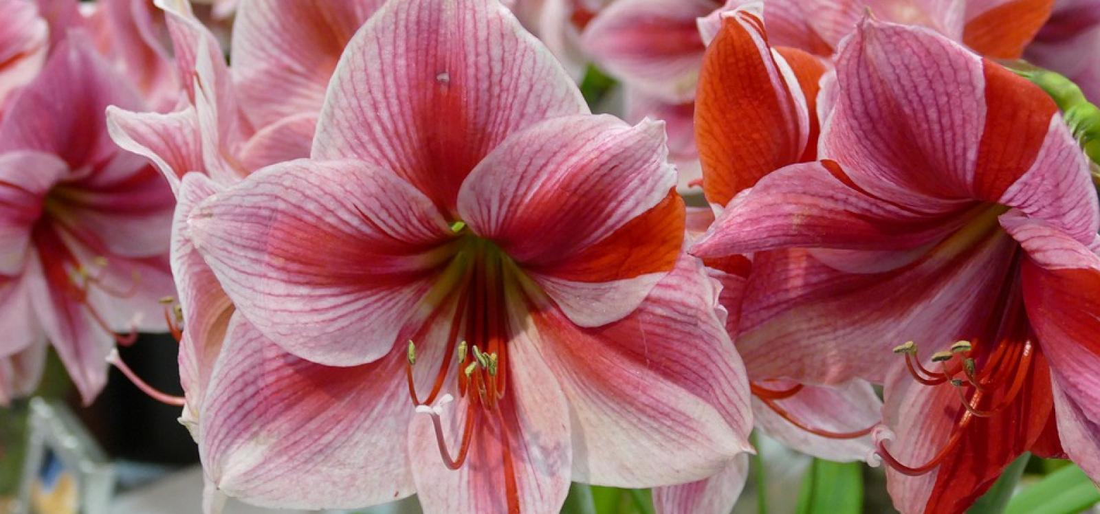 Time for Amaryllis!
