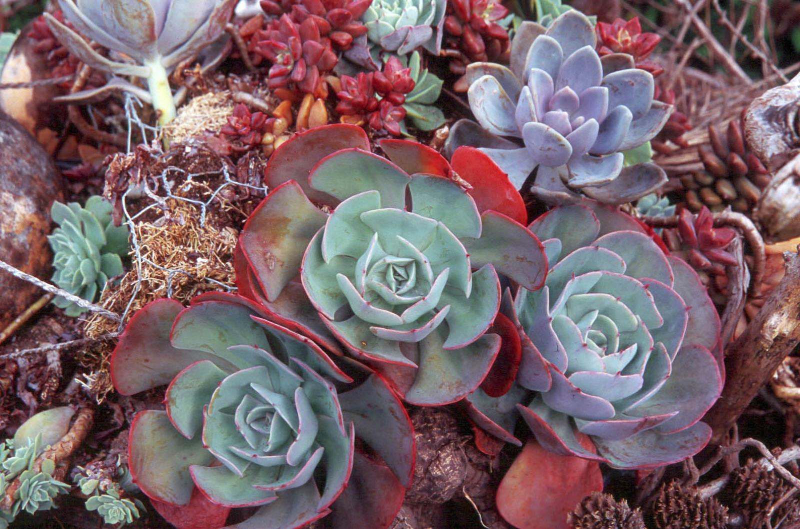 Echeveria and succulent display in Emily Gadonyi's garden.