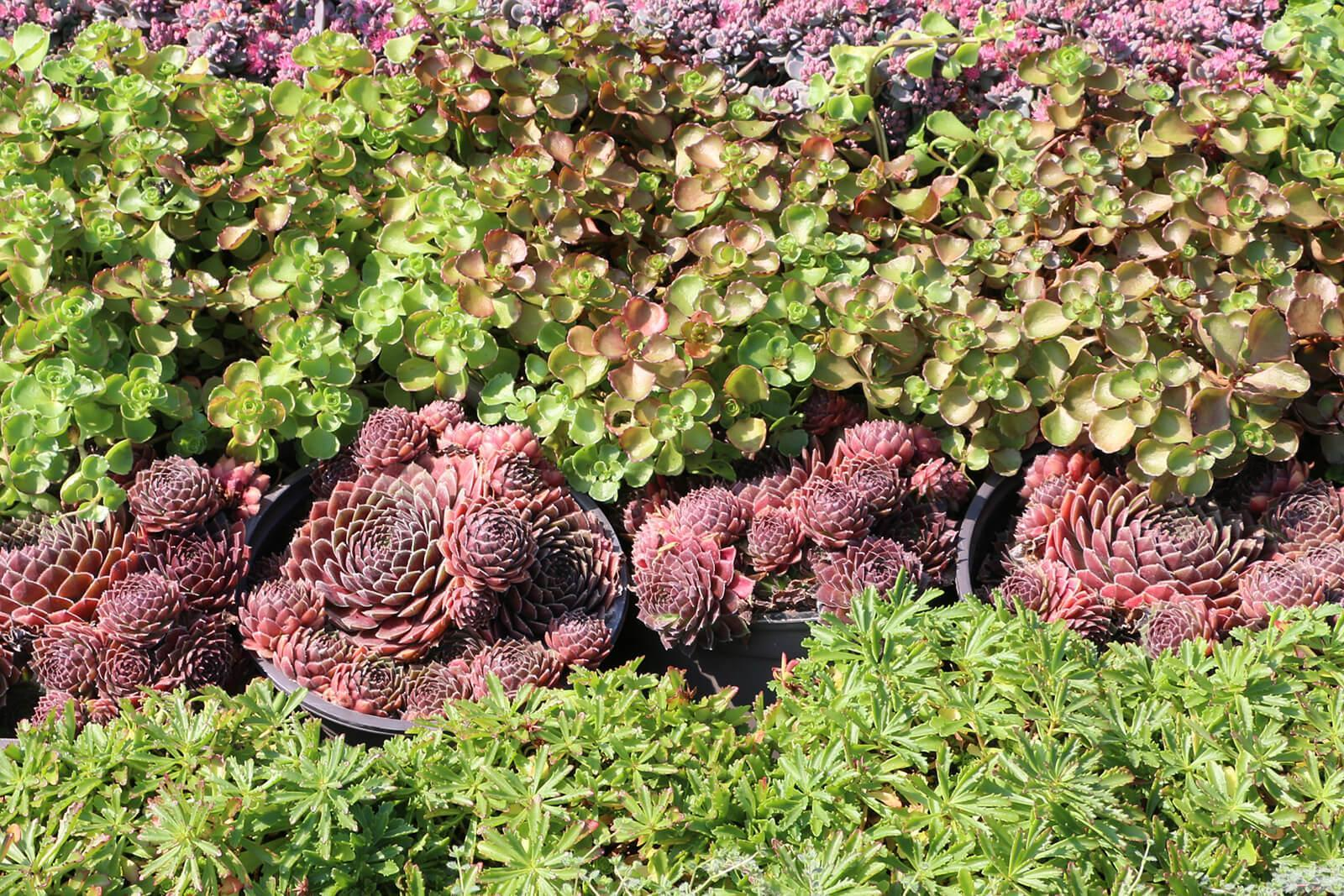 Perennials for ground covers