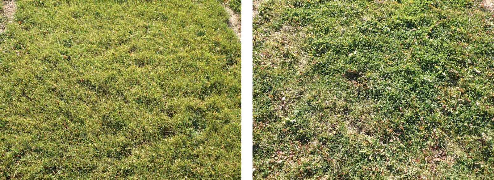 High endophyte-containing ryegrass (left) and Kentucky bluegrass (right).