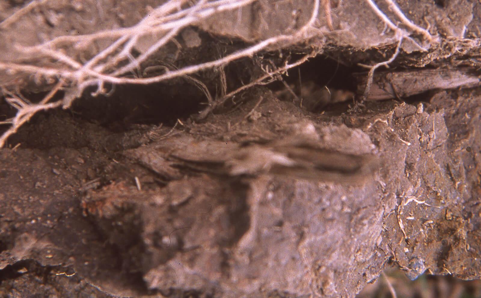 Urban soils: Naturally unnatural