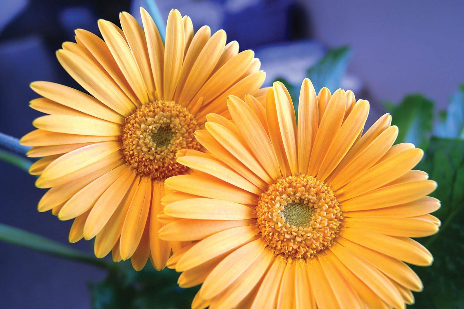 Gerberas named plant of the year by Canada Blooms