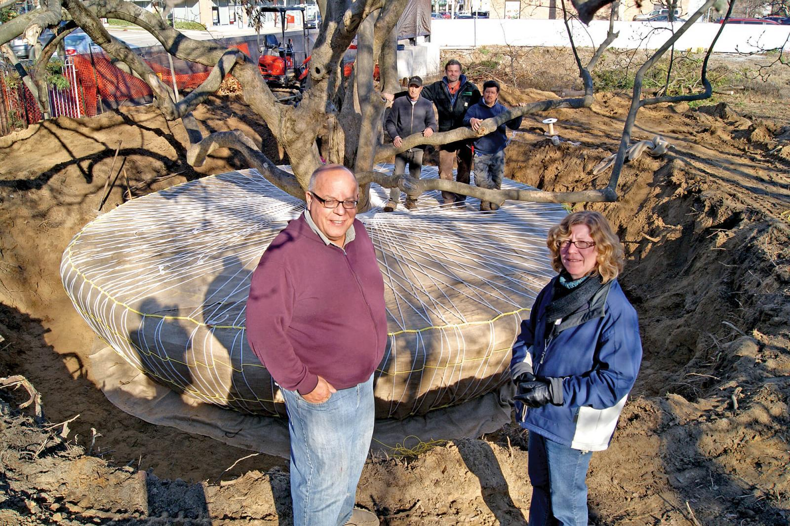 PAO Horticultural takes on 100-year-old magnolia