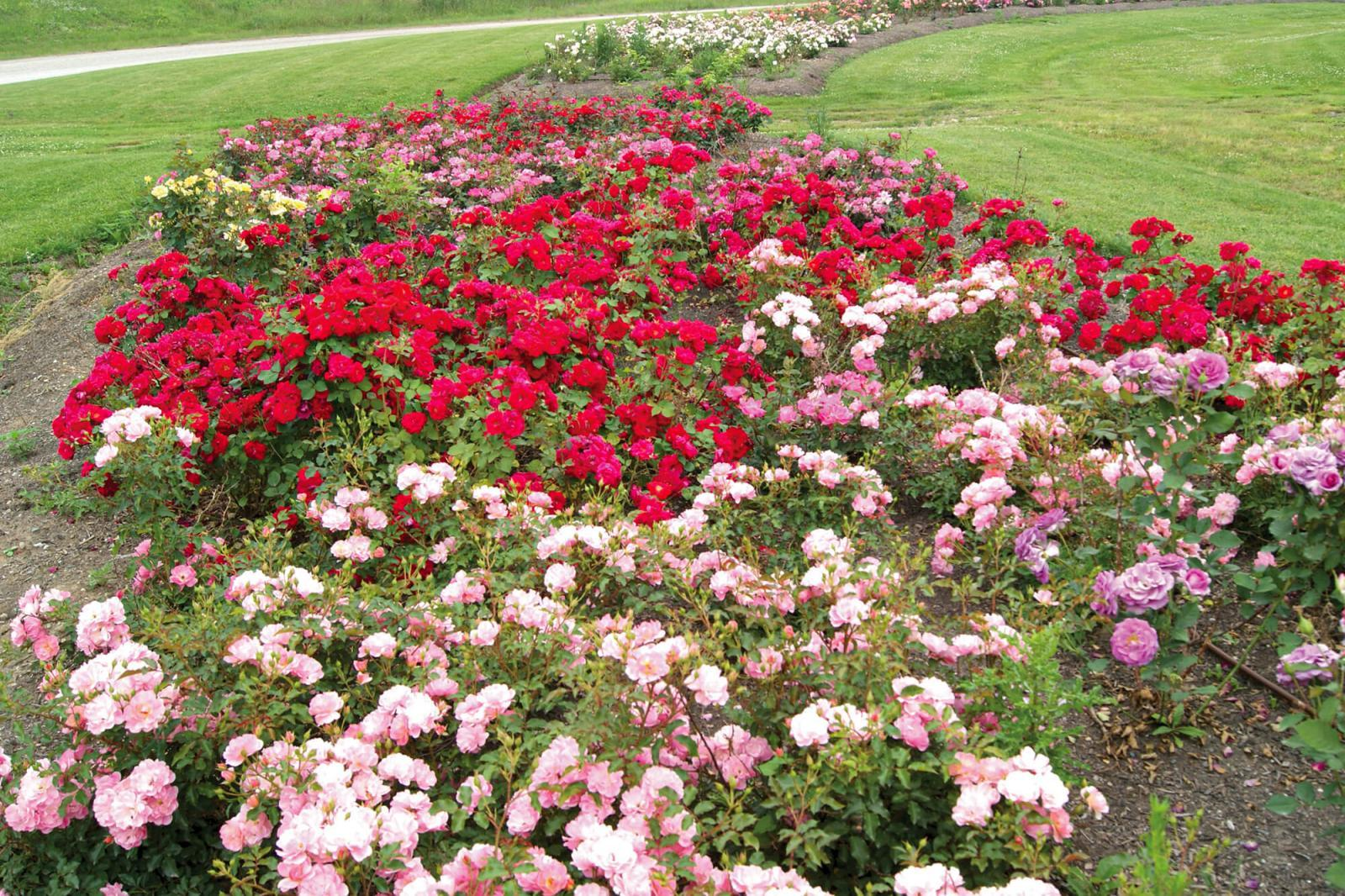 Rose trial reveals good prospects for the Ontario landscape industry