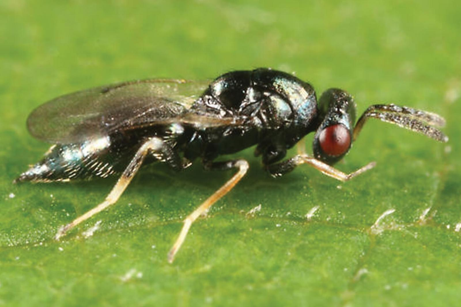 Tetrastichus planipennisi, a natural enemy of emerald ash borer, offers hope as a management tool.