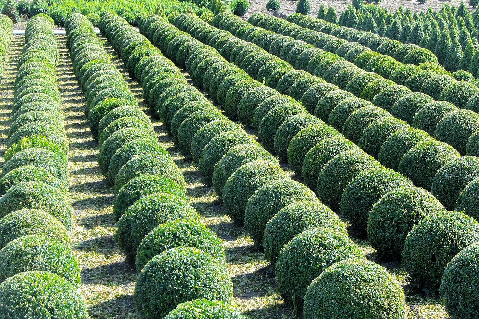 United States amends entry requirements for imports of boxwood, euonymus and holly from Canada