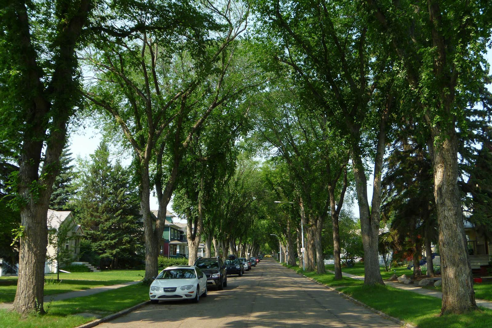 Research may bring white elm back to streets