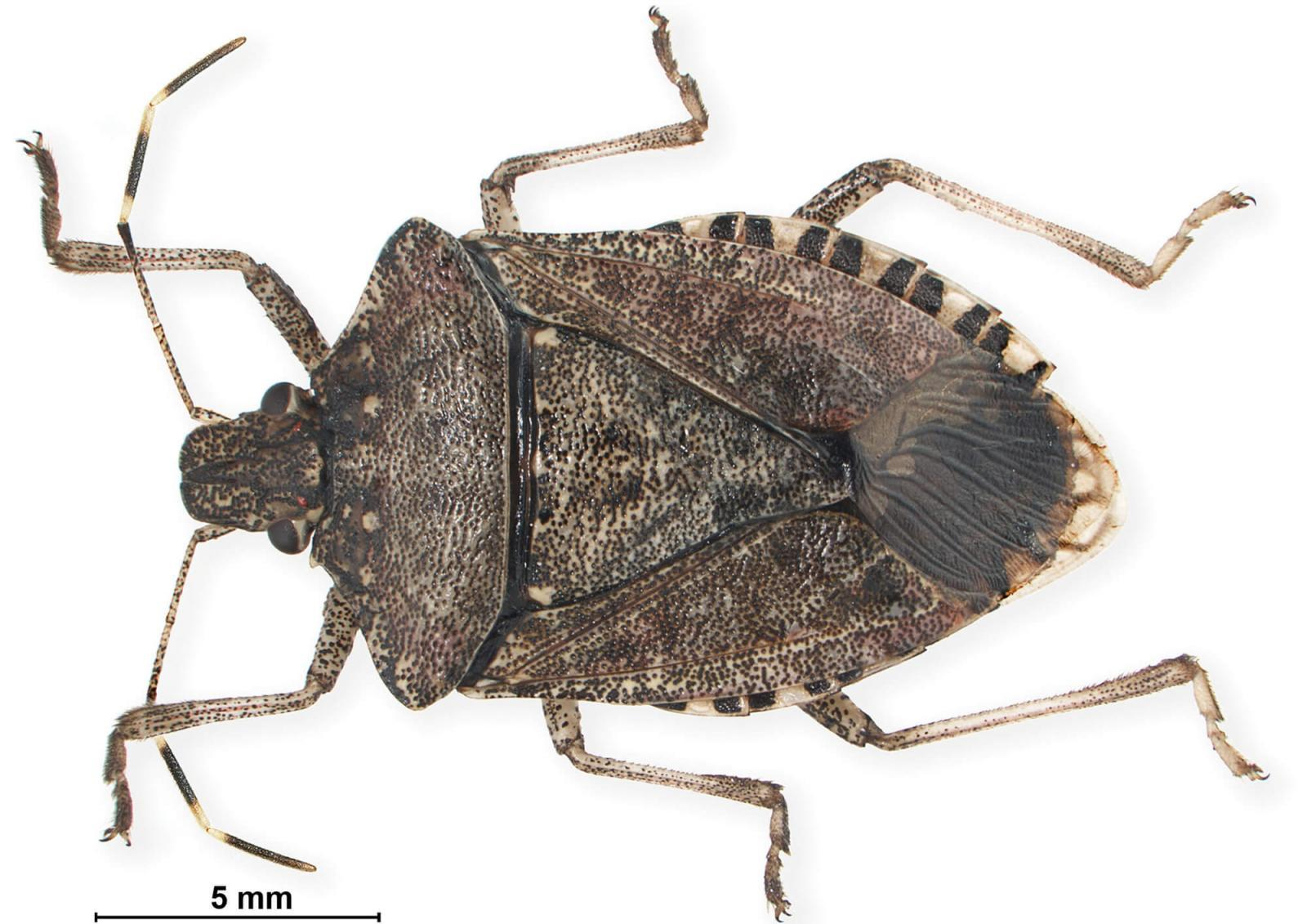 Survey to determine spread of stink bug