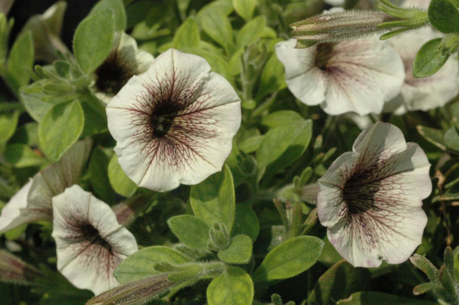 White Russian is a new petunia from Proven Winners.