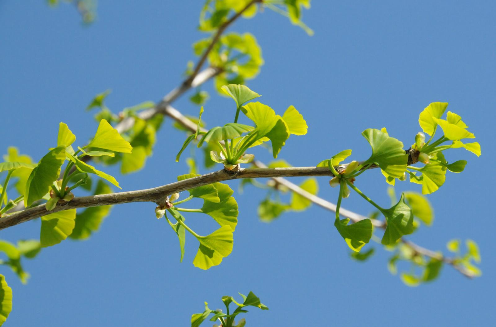 Ginkgo is truly a tree worth planting for future generations