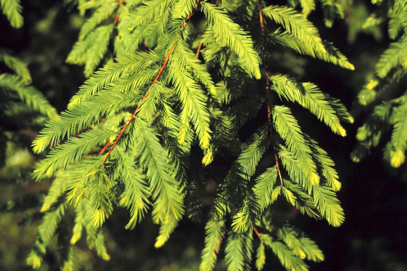 Bald cypress is practical choice for urban areas