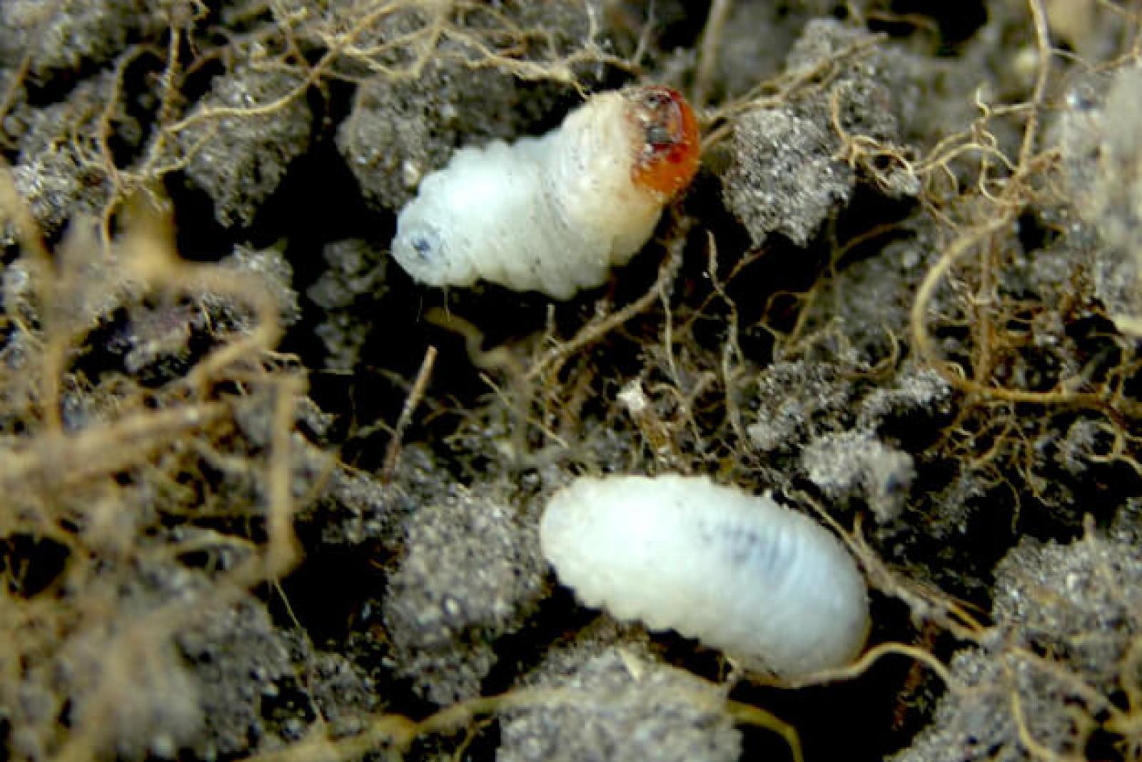 Bluegrass billbug larvae.