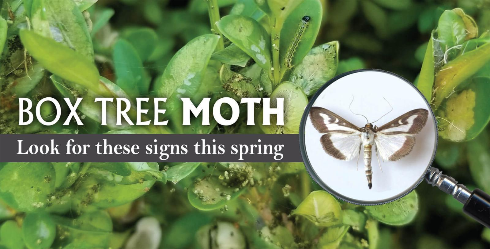 Box tree moth: Look for these signs this spring