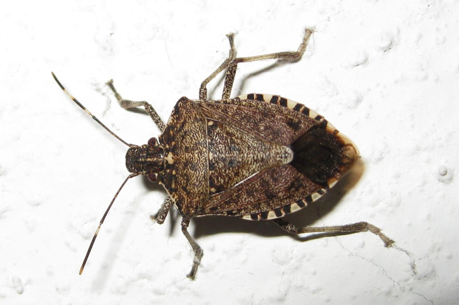 Brown marmorated stink bug confirmed in Ontario