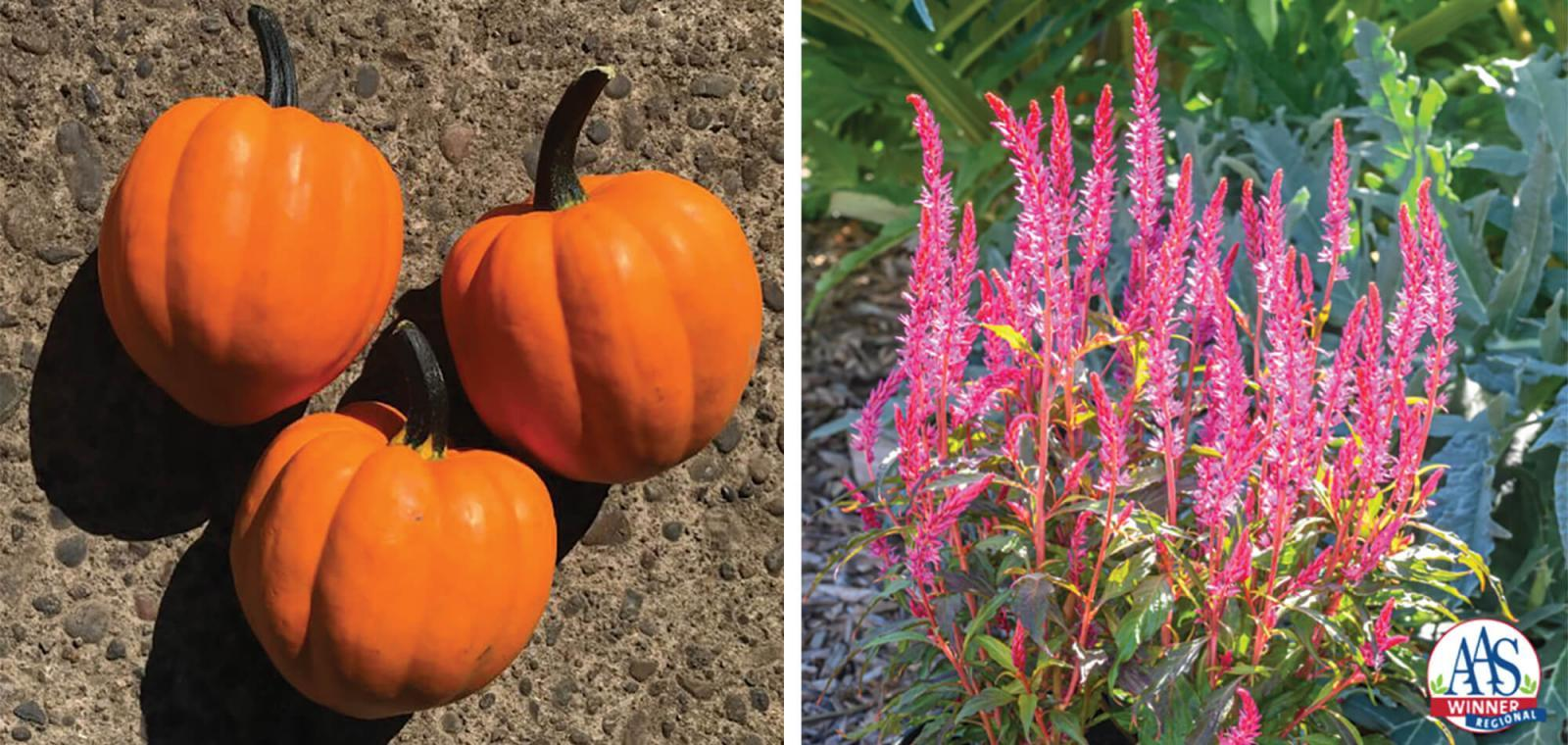 AAS fetes celosia and squash cultivars