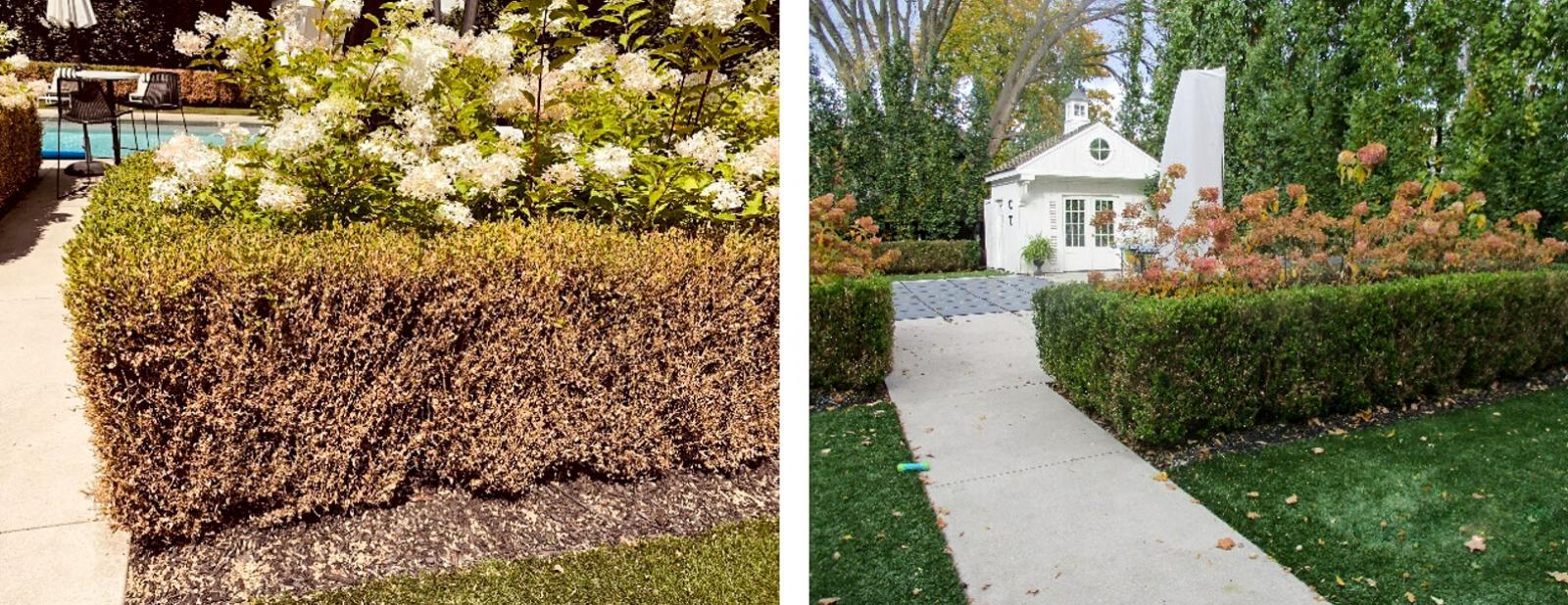 A boxwood hedge before and after treatment.