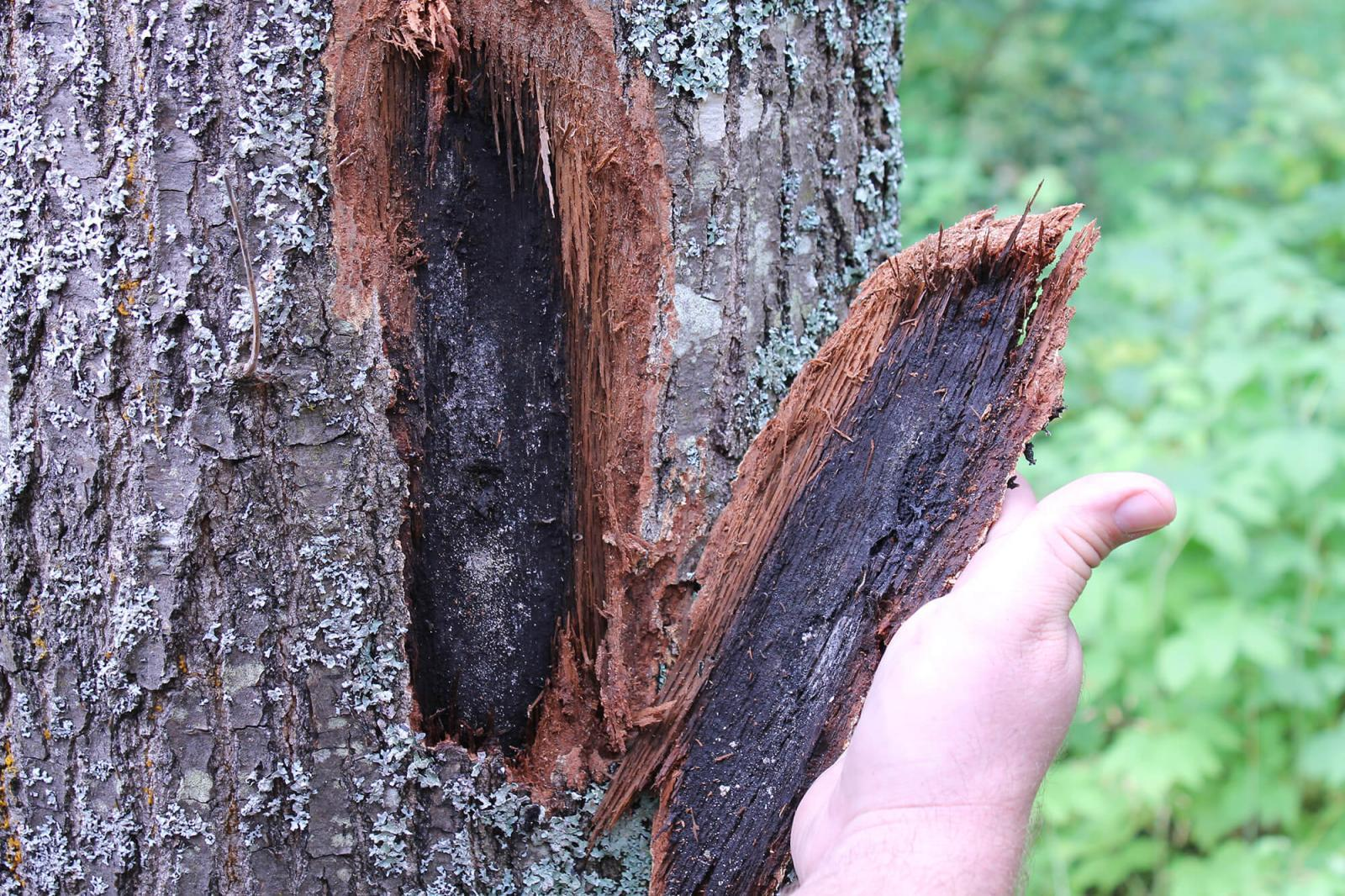 Ready or not! Oak wilt comes to Canada