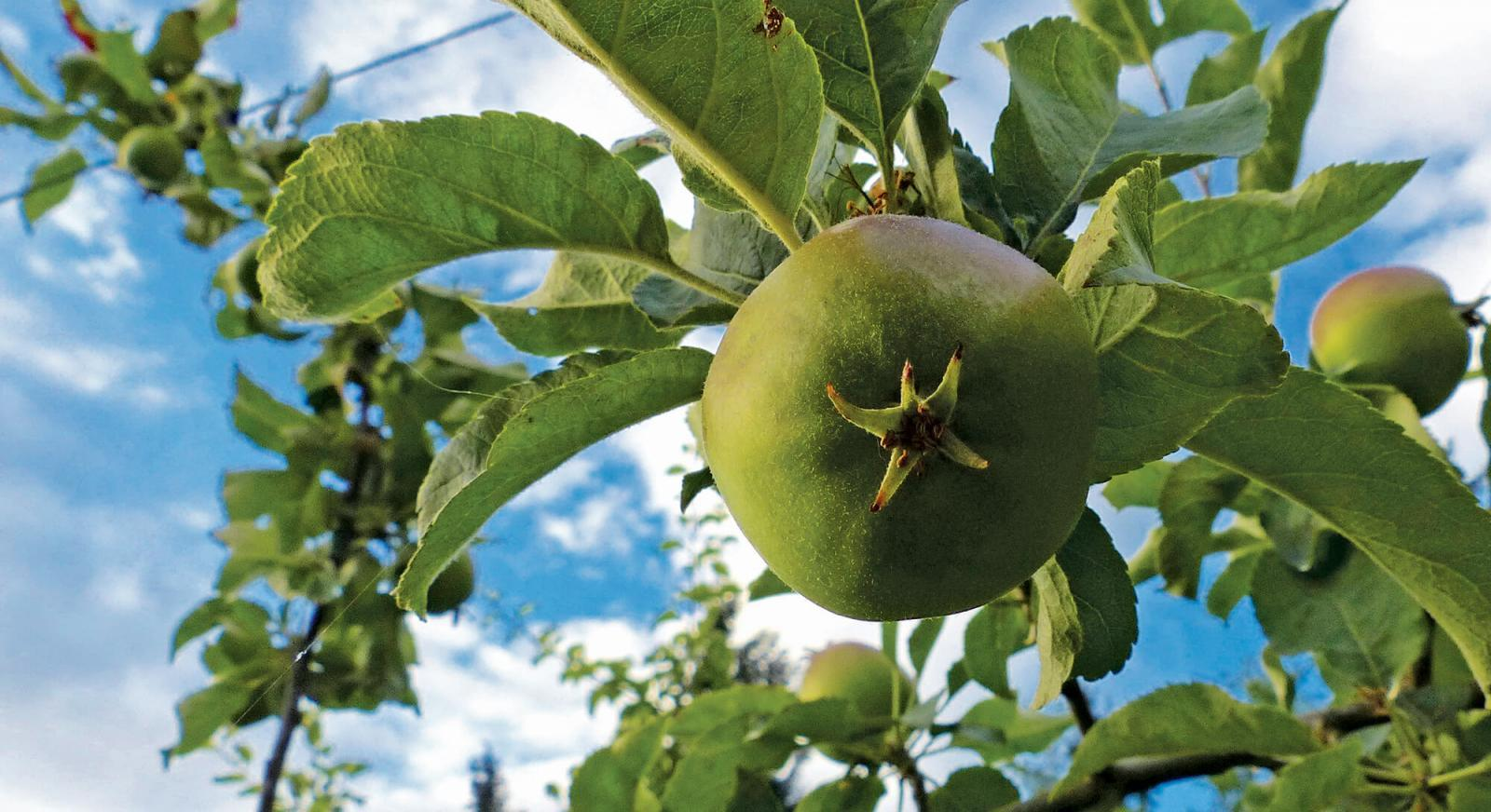 The easier way to integrate fruit trees into landscapes