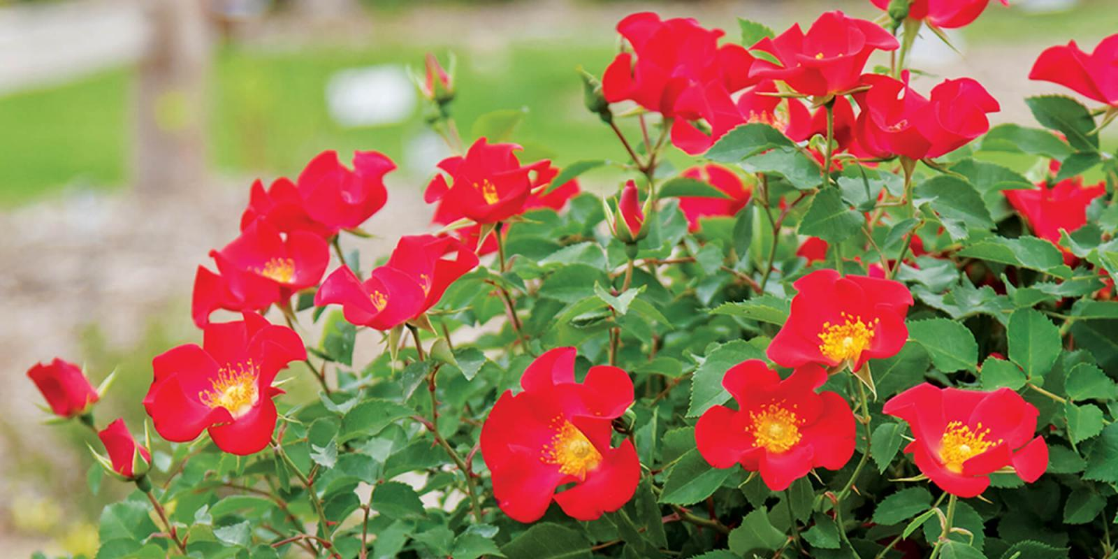 Easy Elegance Screaming Neon Red rose.