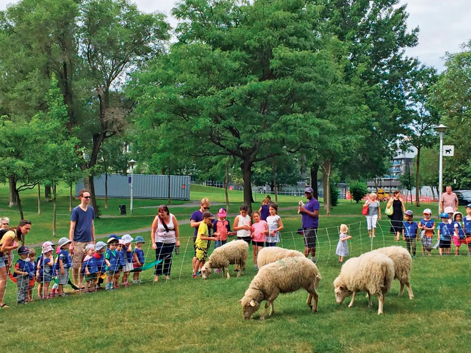 Sheep maintaining the turf at parks  in Montreal are introducing families to urban farming.