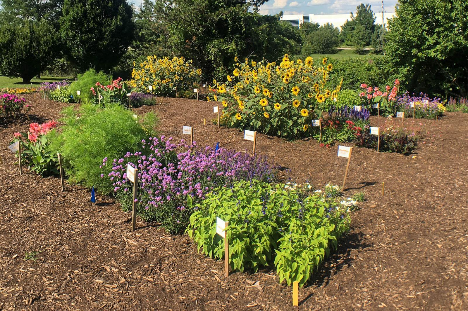 The 2020 trial set up at the Landscape Ontario site. Plots of exotic ornamentals only (foreground) were compared to plots of native plants (background; with sunflowers). There were four plots per plant category (native or exotic) in a randomized design.