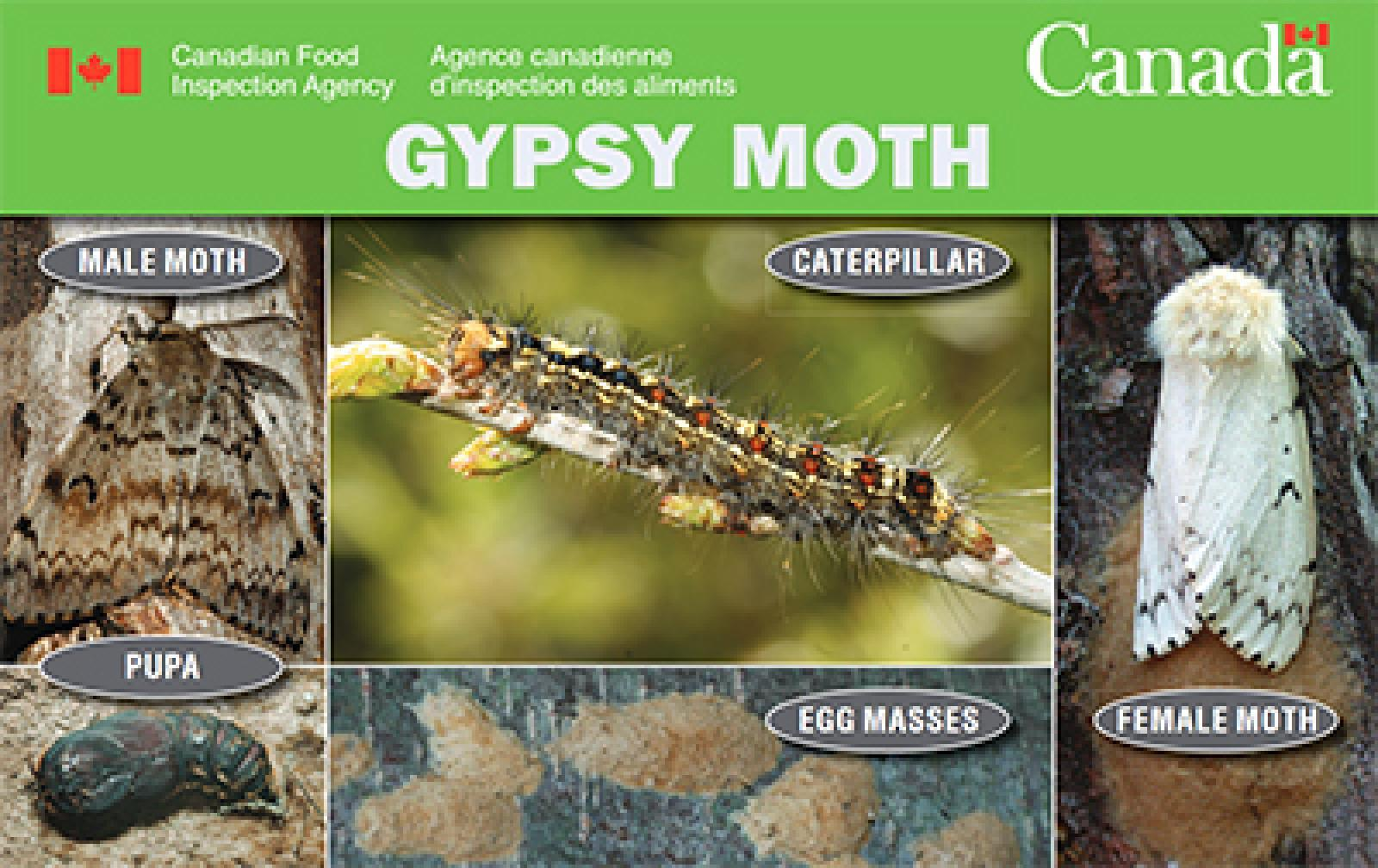 CFIA announces new Gypsy Moth Measures starting March 22, 2021