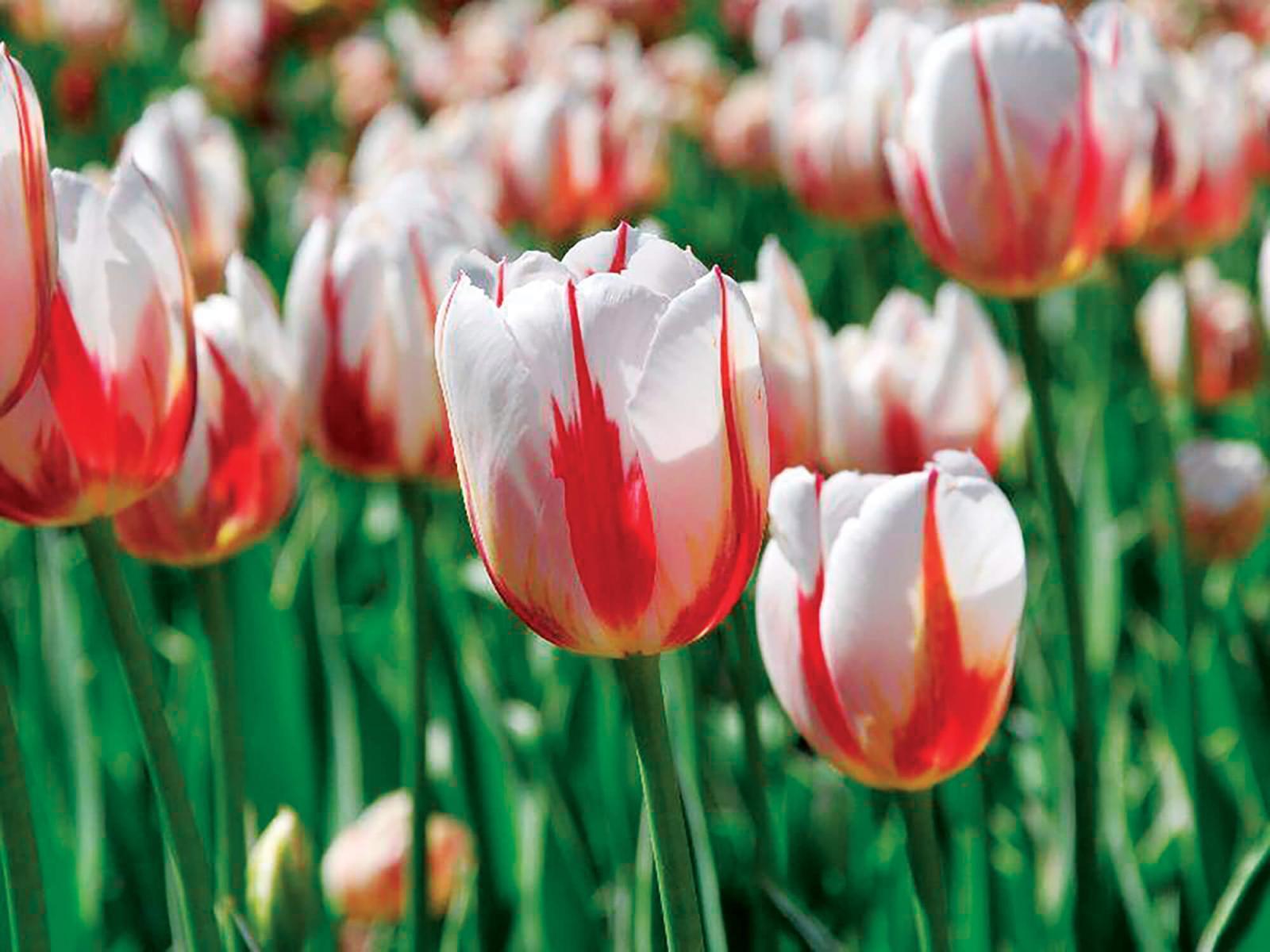 Canada's sesquicentennial tulip
