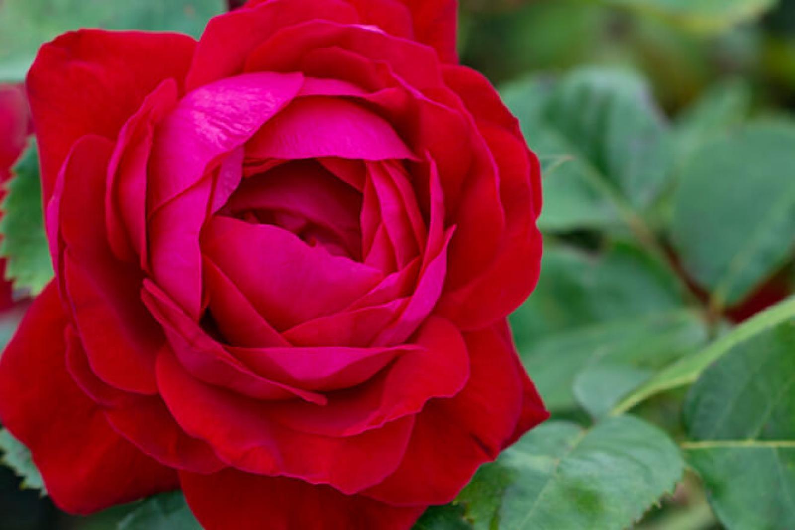 Vineland's Canadian Shield rose.