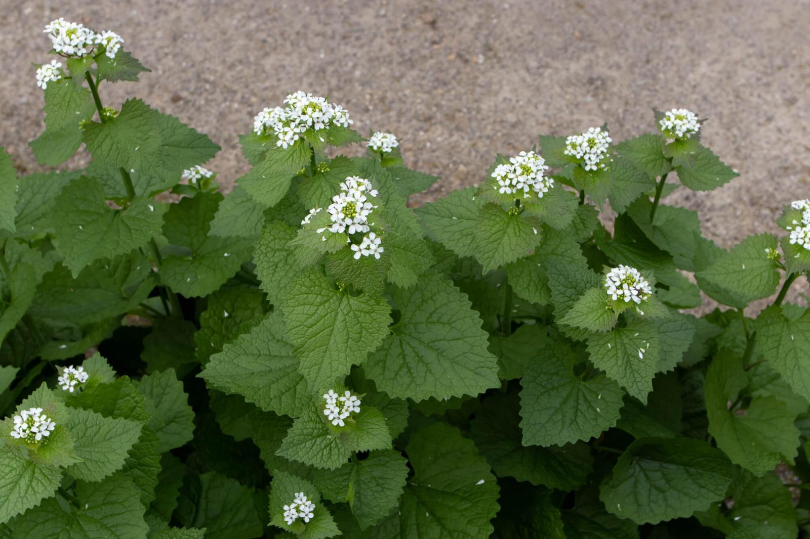 Garlic mustard can actually alter the soil chemistry and inhibit all other plants from growing in your garden.